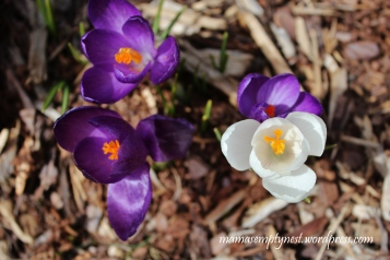 Violet crocus reminding me color is on its way!